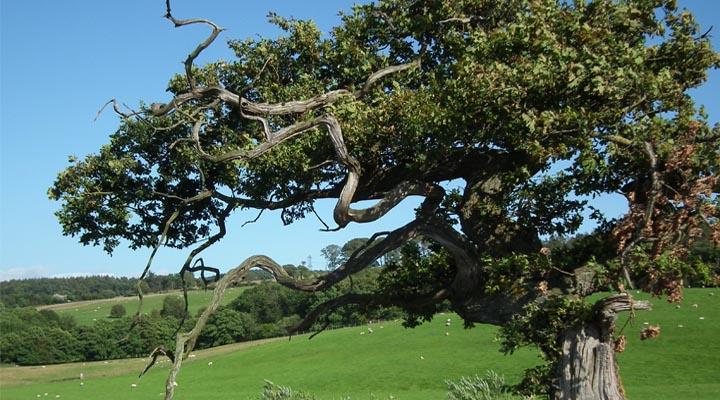 Oak Tree Countryside