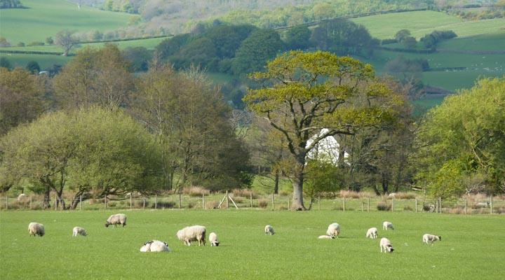 English Countryside Sheep