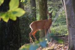 Deer Woodland