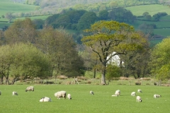 English Countryside Sheep
