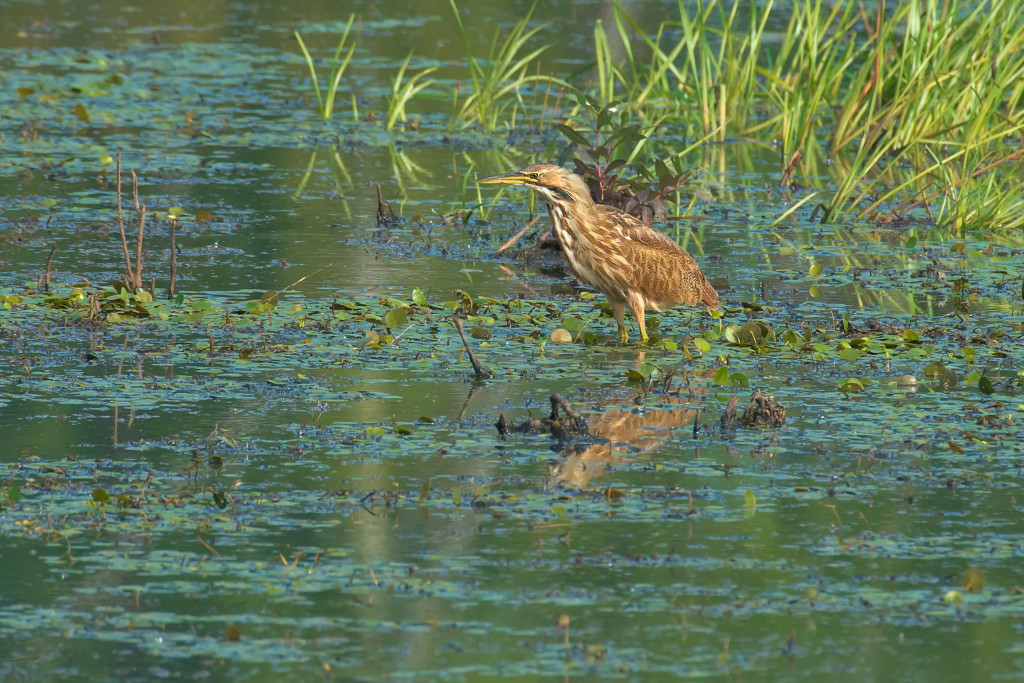 American Bittern standing in the marsh.