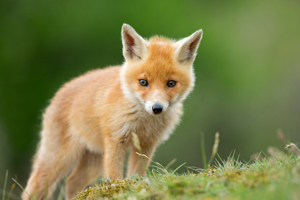 Red fox cub standing on grassy knoll