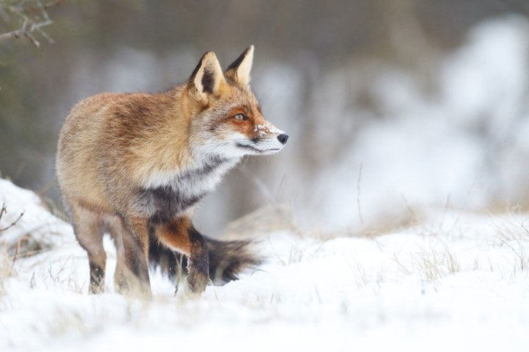red fox iStock_000019256781_Small