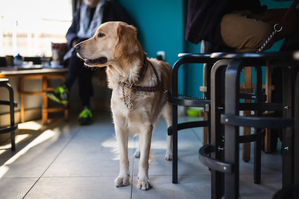 Retriever dog waiting for his owner in bar.